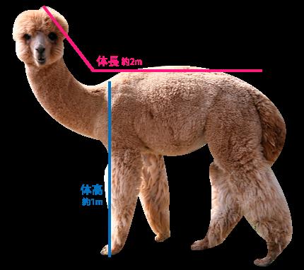 alpacaサイズ