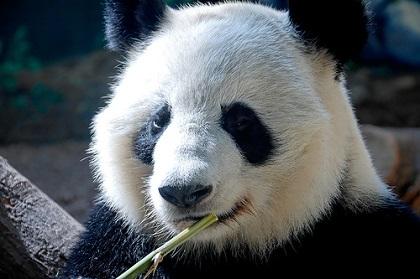 ジャイアントパンダの画像 p1_6