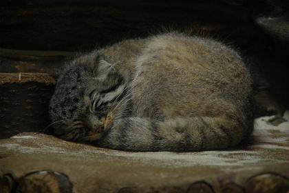 寝るマヌル猫
