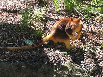 キノボリカンガルー