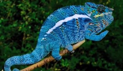 blueカメレオン