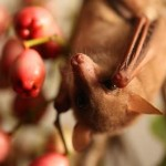フルーツハナコウモリ