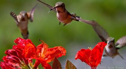 ハチドリの画像 p1_11