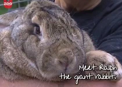 珍獣ウサギ