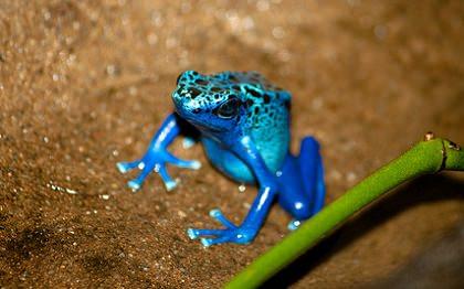 青いヤドクガエル