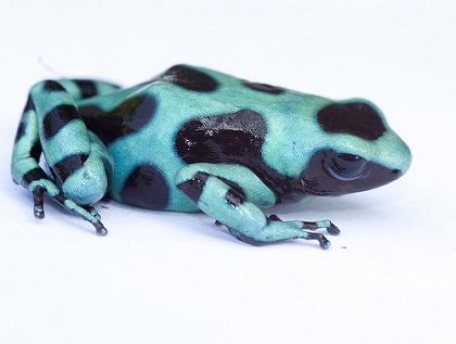 緑と黒のヤドクガエル