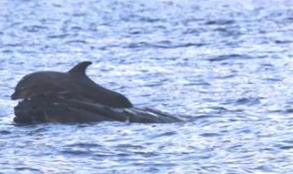 クジラに乗るイルカ