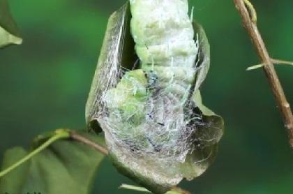 デカイ幼虫