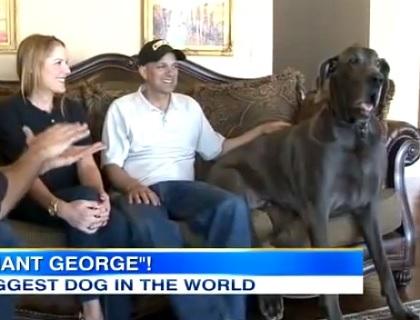世界最大犬