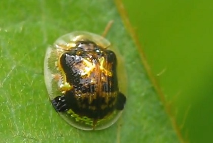 カメノコハムシ !日本で見られる珍虫です。 | 珍獣図鑑アルパカパカス 珍獣図鑑です。世界の珍獣