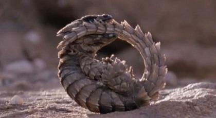 アルマジロトカゲ