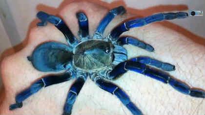 青いタランチュラ