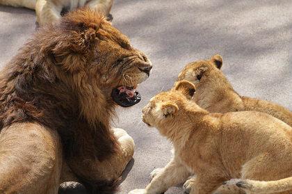 ライオンの父