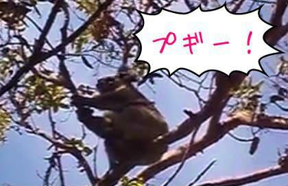 コアラの鳴き声